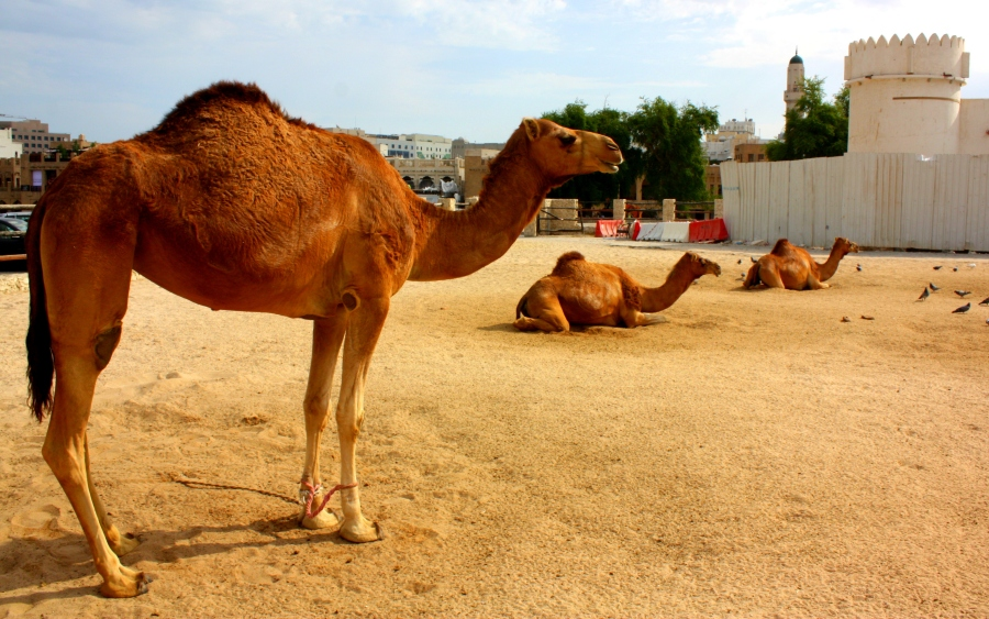 Before the car, camels were a more traditional form of transport & can still be found near the Souq Waqif