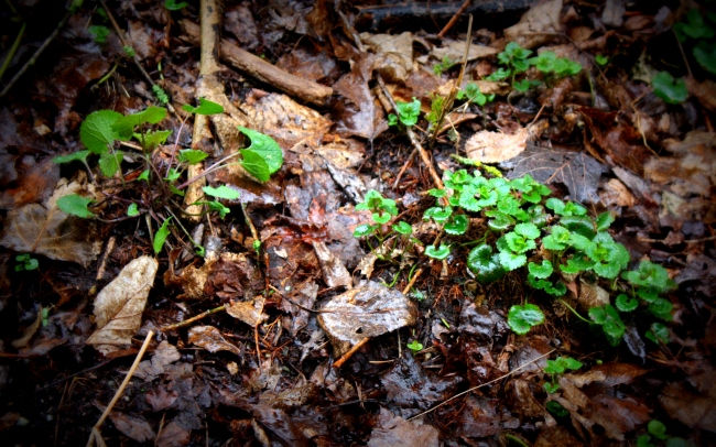 Left: Mustard Garlic; Right: Ground Ivy