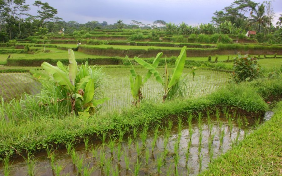 Baliense Rice Fields: Despite traffic, this remains a beautiful island – hopefully measures will be taken to preserve its charm and beauty.  Outside of the hustle & bustle of Bali's urban South, in the centre of the island, one can find Bali's famous terraced rice fields.  This system of farming which depends on balenced use and respect for the water supply is a UNESCO world heritage site –  Cultural Landscape of Bali Province: the Subak System as a Manifestation of the Tri Hita Karana Philosophy